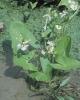 Šípatka vodní - Sagittaria sagittifolia